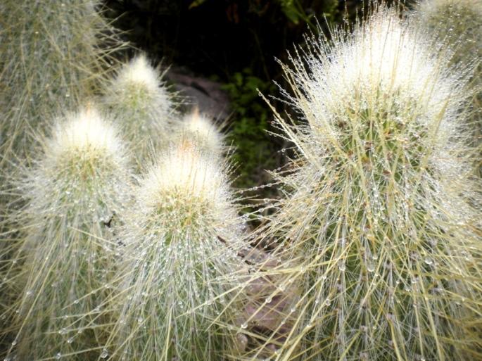 Típicos cactus