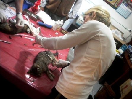 Operando a un gato