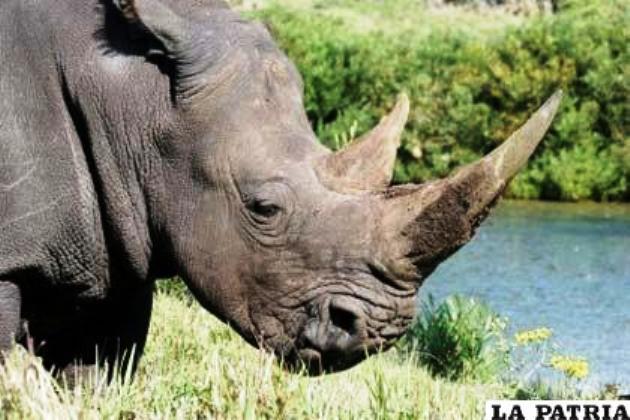 El kg de cuerno de rinoceronte se vende a 80 mil dólares