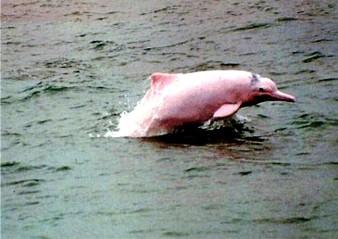 Delfín de río chino, una de las especies extintas por la acción del hombre