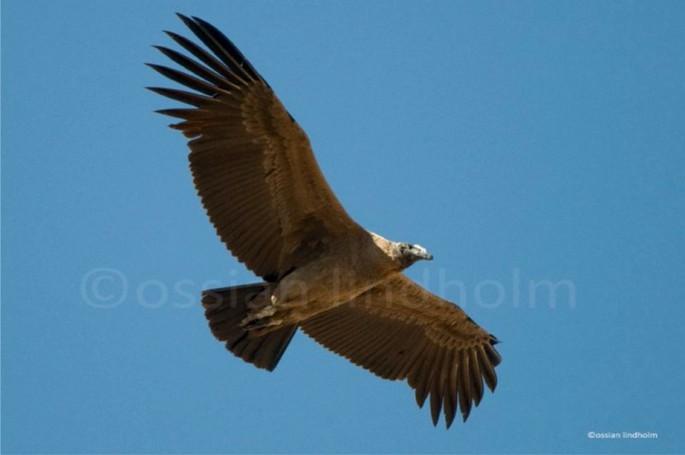 Cóndor juvenil; el color marrón será cambiado por negro en la adultez